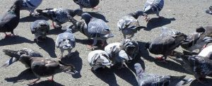 Bird Removal in Edmonton