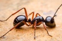 Edmonton Ants