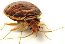 Edmonton Bedbugs