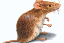 Edmonton Mouse
