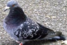 Edmonton Pigeon