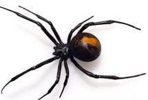 Edmonton Spiders