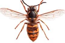 Edmonton Wasps