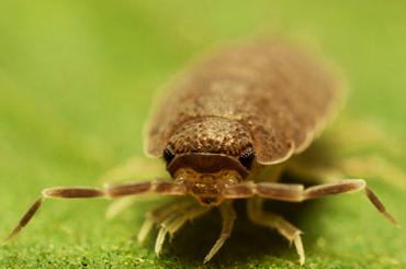 Sowbug infestation