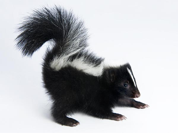 Professional Skunk Removal